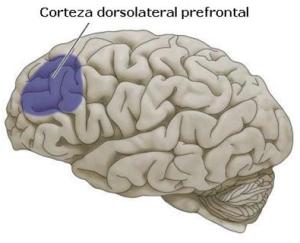 corteza-frontal-dorsolateral1